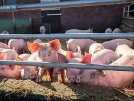 wichtige barriere überwunden: bedrohliche schweineviren auch in europa