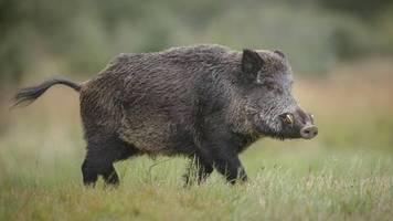 Berliner Badesee: Laptop geklaut: Nackter Badegast jagt Wildschwein hinterher