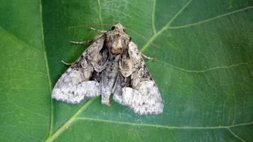 kleine sensation: ausgestorben geglaubter nachtfalter in bayern wiederentdeckt