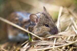 landwirtschaft: wegen klimawandel: mäuse fressen ernte 2020 auf