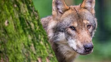 Drei Schafe tot: Wolf als Täter identifiziert