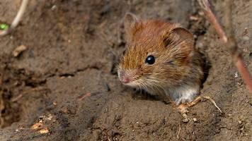 umweltministerium: einsatz von gift gegen mäuseplage möglich