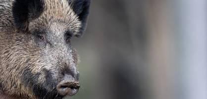 afrikanische schweinepest – erster fall in deutschland bestätigt