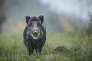 kurz nach erstem fall in deutschland - weitere wildschweine in brandenburg positiv auf schweinepest getestet