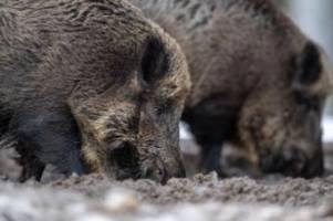 Agrar: Schweinepest: Nach Verdacht werden Testergebnisse erwartet