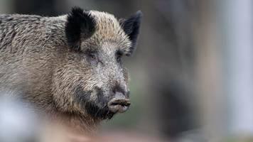 Seuche: Bundesinstitut: Afrikanische Schweinepest könnte lange bleiben