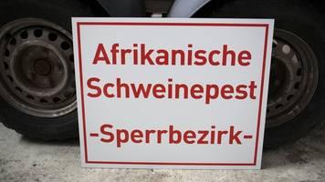 erreger aus afrika: wie lange bleibt die schweinepest in deutschland?