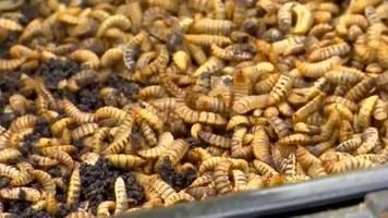 video: obst - larve - tierfutter