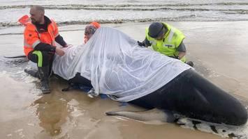 australien: fast 500 grindwale gestrandet – helfer erschießen erste tiere