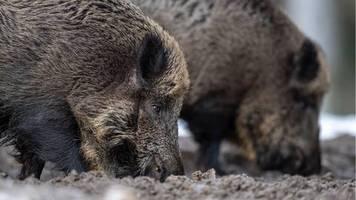 News von heute: Afrikanische Schweinepest: Brandenburg tötet alle Wildschweine in einer weißen Zone