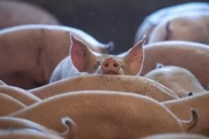 Nationale Herausforderung: Agrarminister sagen Schweinepest gemeinsam den Kampf an