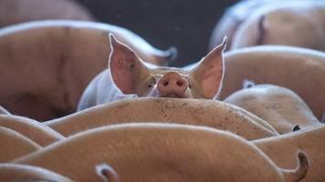 «Nationale Herausforderung»: Agrarminister sagen Schweinepest gemeinsam den Kampf an
