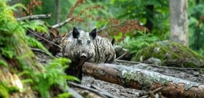 Afrikanische Schweinepest: Brandenburg tötet alle Wildschweine in der weißen Zone