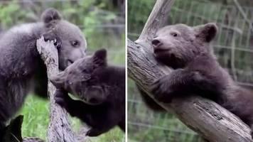 niedliche aufnahmen: bearflix: live-stream von bären-waisenhaus soll spenden sammeln