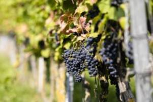Landwirtschaft: Winzer beginnen mit Weinlese in Schleswig-Holstein