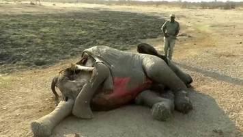 video: simbabwe: virus für elefantentode verantwortlich?