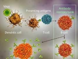 Epitope: Grundlage für Impfstoff: Worauf T-Zellen bei Sars-CoV-2 anspringen