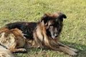 In Russland - Besitzer vergiften Schäferhund und begraben ihn - doch er kämpft sich aus dem Grab