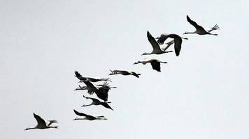 Auf Wiedersehen Glücksvögel: Kraniche ziehen in den Süden