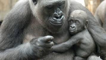 Zoo will Menschenaffen vor Corona-Infektion schützen
