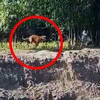 tezpur in indien: tiger greift anwohner an – dann stürzen mensch und tier in eine grube