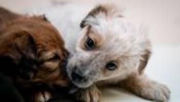 illegaler welpenhandel: weil es um kleine, süße hunde geht, setzt alles im kopf aus