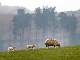 Jährlicher Millionen-Schaden: Britische Landwirtschaft klagt über Viehklau
