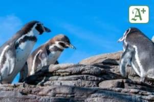 Tiere: Pinguine reagieren sensibel auf Geräusche