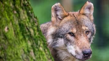 wachsende zahl wölfe: demonstration vor ministerkonferenz