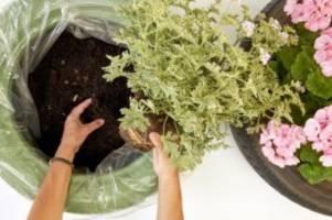 Neues Zuhause fürs Grün: Upcycling-Projekt: Geranien in Autoreifen pflanzen
