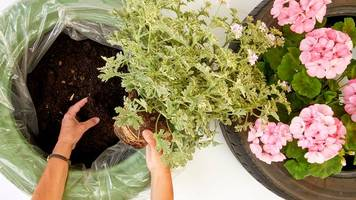 Neues Zuhause fürs Grün - Upcycling-Projekt: Geranien in Autoreifen pflanzen