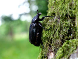 Der kleine Käfer, der jetzt die Staatsanwaltschaft Potsdam beschäftigt