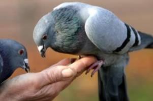 Streit mit Nachbarn: Urteil: Ordnungsgeld bei zu häufigem Taubenfüttern