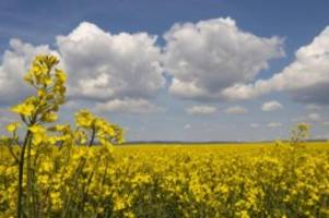 Agrar: Raps kämpft mit dem Klimawandel: Anbau im Norden rückläufig