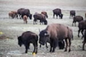 Zur Populationskontrolle - Nur 12 dürfen rein: 45.000 Bewerber für Bison-Jagd im Grand Canyon Nationalpark