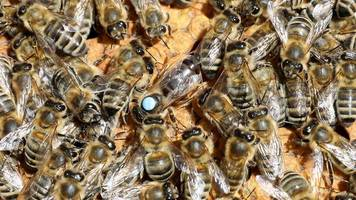 imkerverband sieht geschäft mit mietbienen kritisch