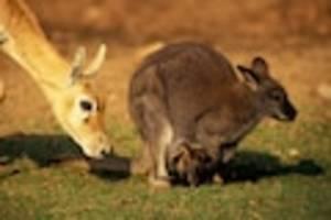 zwei tiere zudem verletzt - drama im stralsunder zoo: fuchs dringt in gehege ein und reißt vier kängurus