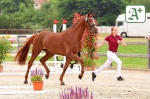 pferdesport: doch mit zuschauern: holsteiner pferdetage beginnen