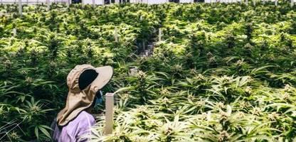 start-up für medizinisches marihuana: die deutsch-israelische cannabis-connection