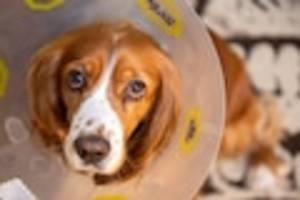 focus-online-dogcast - kastration beim hund: das sind die vor- und nachteile für ihre fellnase