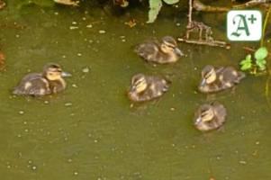 gellhornpark: feuerwehr glinde befreit fünf hilflose entenküken