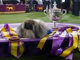 sieger der kennel club dog show: wasabi, der pekingese - könig der hunde