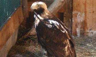 Von Adlern, Bussarden und Kamikaze-Tauben: Warum Greifvogel-Schutz in Österreich nicht funktioniert [premium]