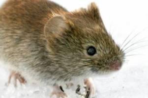 ursprung in rötelmaus: starker anstieg der hantavirus-infektionen in diesem jahr