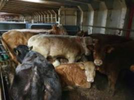 Fleischindustrie: Wie die EU das gefährliche Geschäft mit Tiertransporten auf See befördert