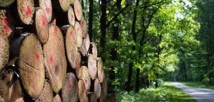 Wegen hoher Holzpreise - Altmaier will wieder mehr Fichten fällen lassen