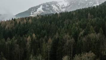 """""""schnellstmöglich"""" - lieferengpässe beim holz: altmaier will mehr gesunde fichten fällen lassen"""