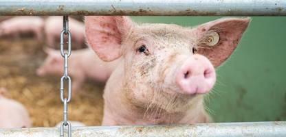markenrecht: schwein ist nicht gleich schwein