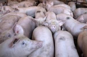 Agrar: Bauern enttäuscht von Treffen über Schweinepest