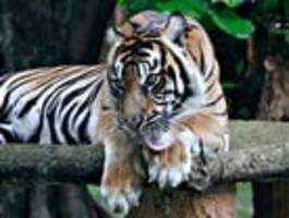 Sumatra-Tiger in indonesischem Zoo an Covid-19 erkrankt